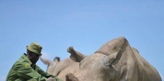 northern white rhino najin