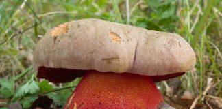 Lucni Boletus legaliae 01 crop